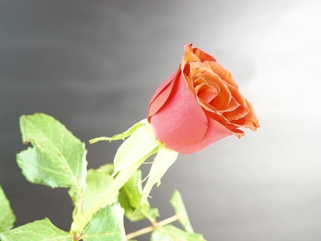 En San Jordi escoge tu rosa entre nuestras escorts de Barcelona.